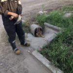 Bomberos liberaron a un perro atascado en una alcantarilla